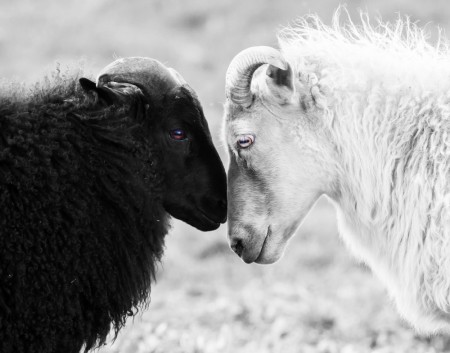 Poster Black And White Sheep